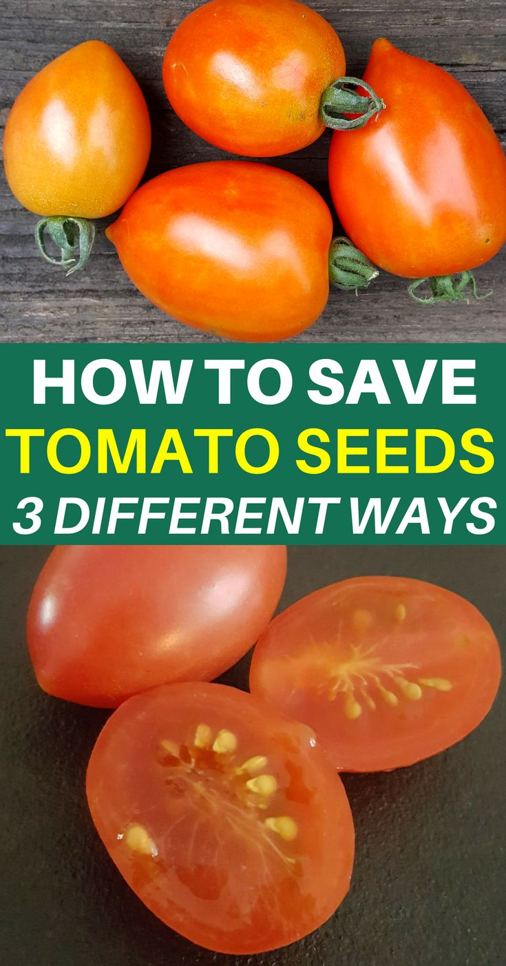 How To Save Tomato Seeds: It's Easier Than You Think #tomatenzüchten