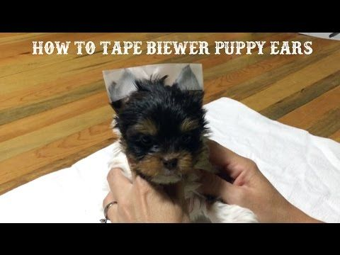 Here Is A Quick Video About How To Tape Floppy Biewer Terrier Puppy Ears It Is Very Easy All You Need Is Clear Medical Tape Puppies Yorkie Dogs Biewer Yorkie