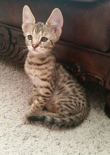 Snow Canyon Savannahs Savannah Cat Cat Breeder Savannah Cat