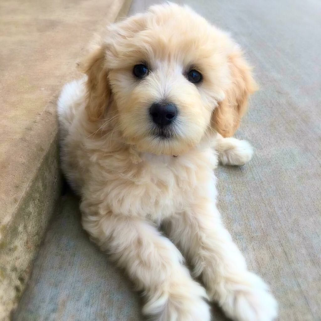 Wavy Haired Adult Mini Goldendoodle Puppies Goldendoodle Puppy