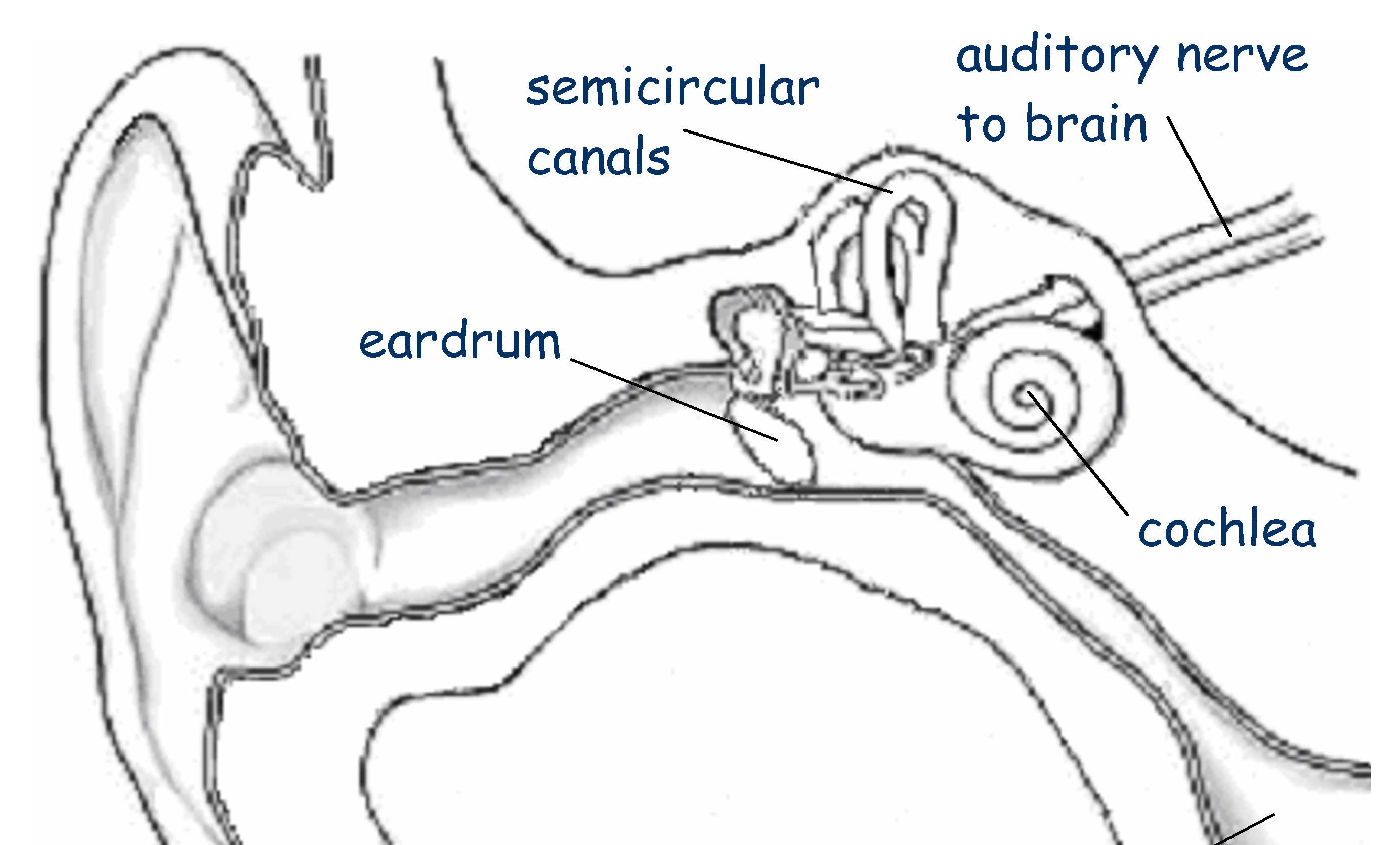 Both Part Of The Same Organ The Inner Ear The Receptors