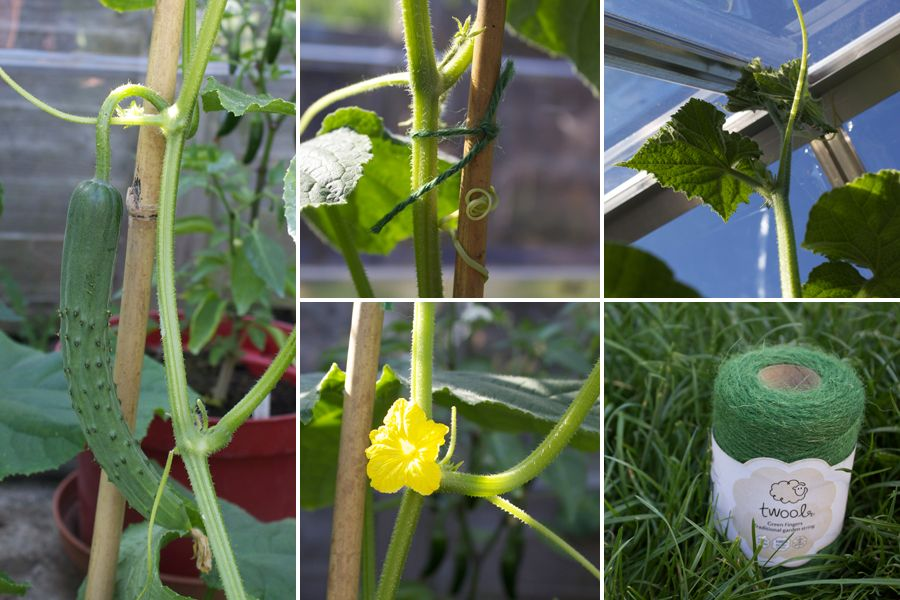 Growing cucumbers indoors or out Two Thirsty Gardeners