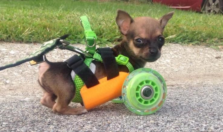Turboroo The Chihuahua With No Front Legs Can Walk Again Thanks