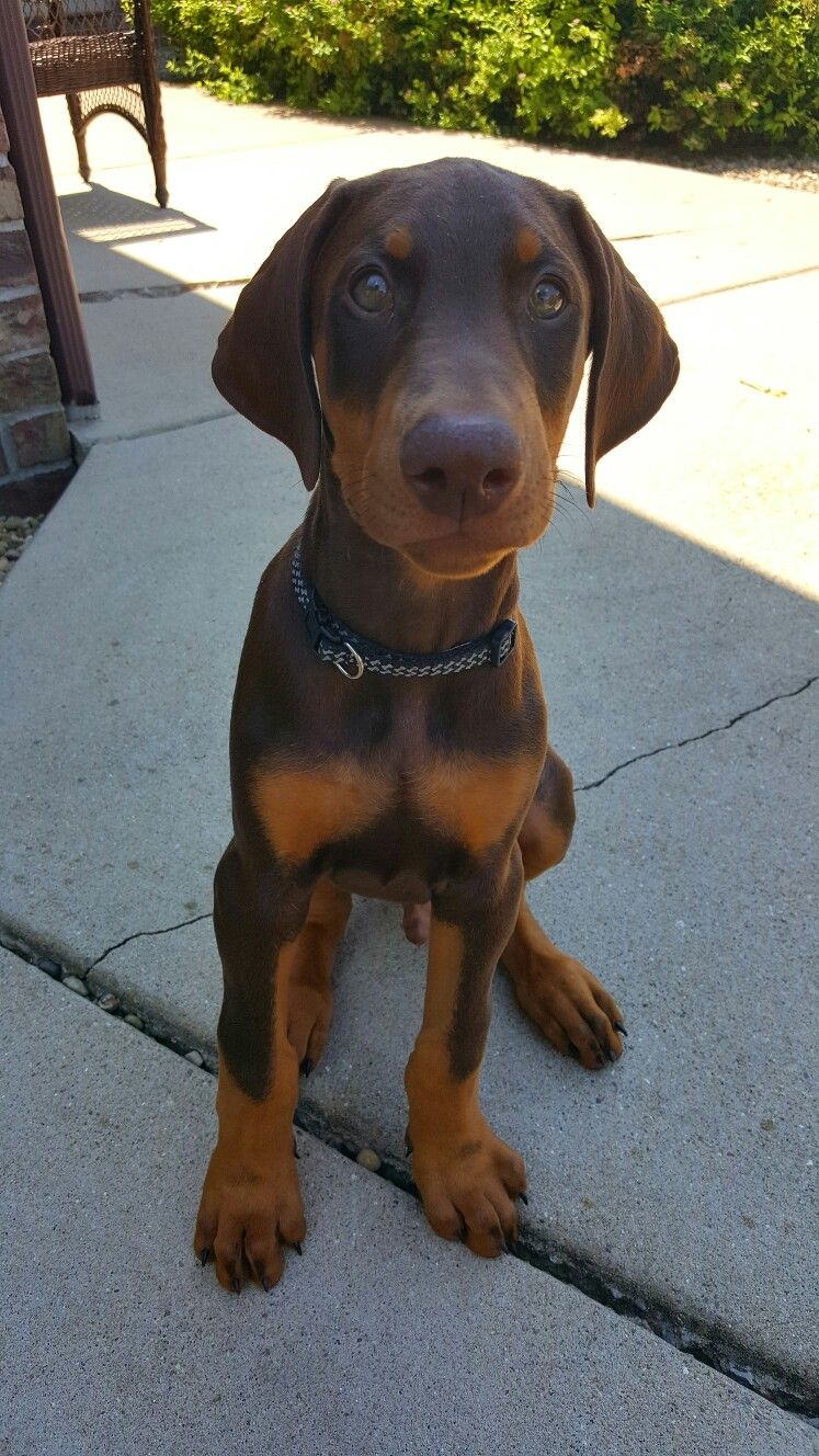 9 Week Old Green Eyed Red Doberman I Named Him Louie