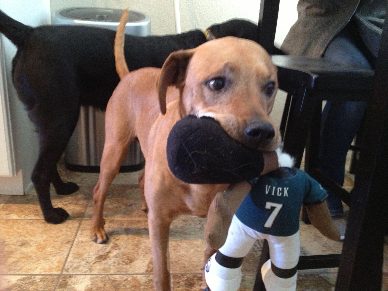 My Pitbull S Favorite New Toy Pitbulls Animals Dog Toys
