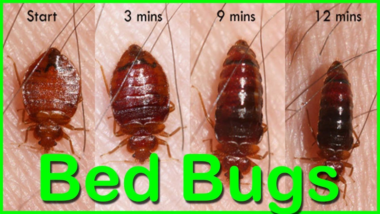 What Can Kill Bed Bugs