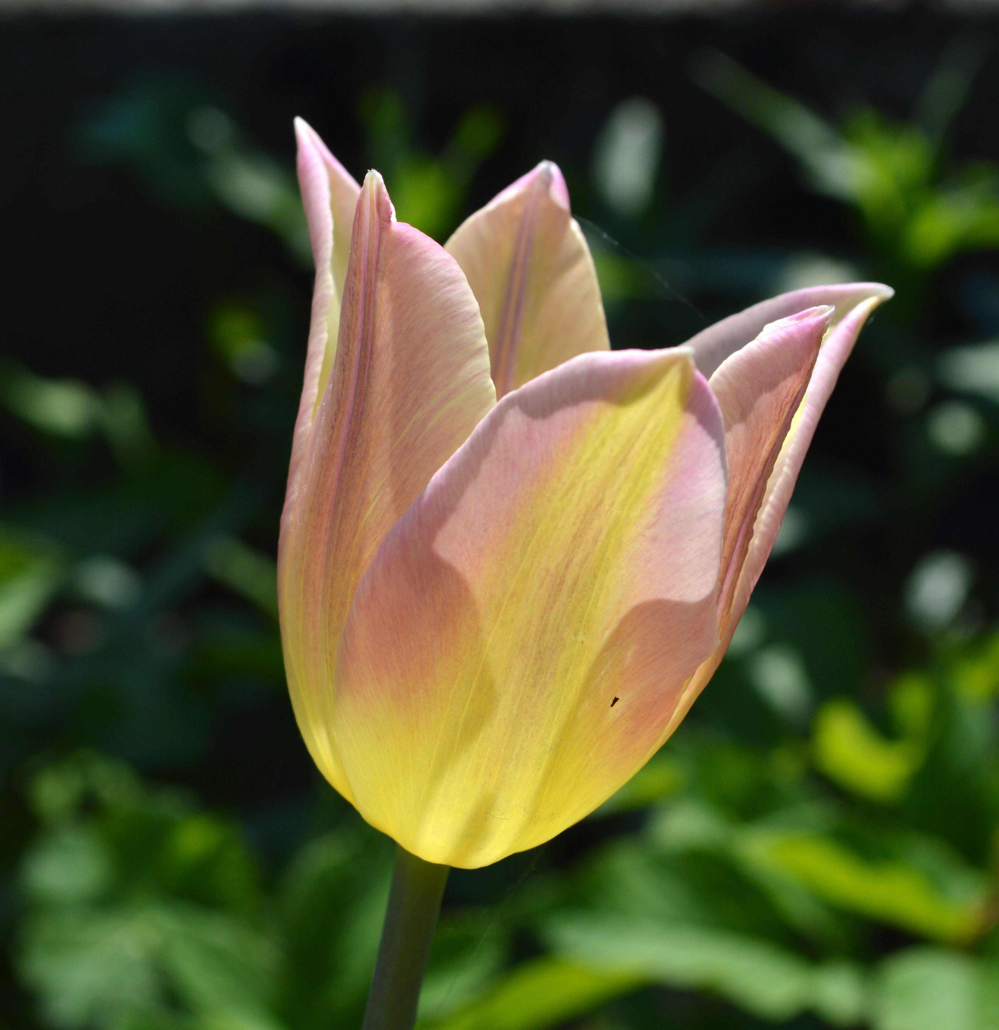 Tulpanen 'Elegant Lady' i vår trädgård våren 13