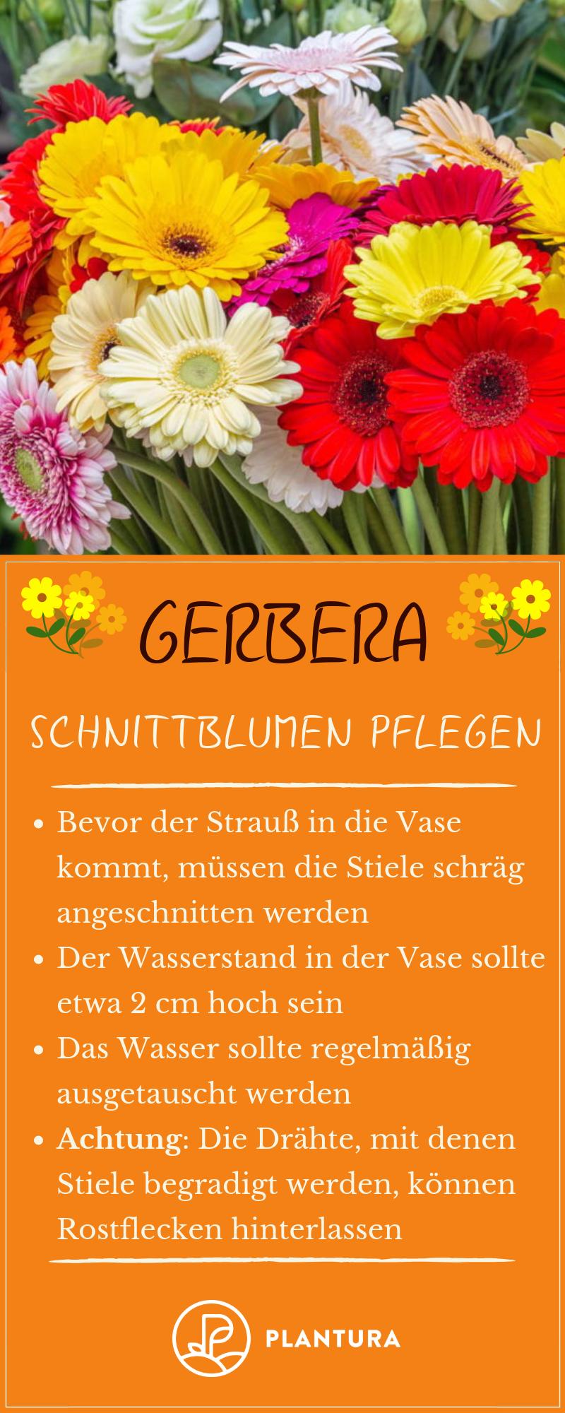 Gerbera Im Topf Im Garten Als Schnittblume Plantura Schnittblumen Gerbera Garten