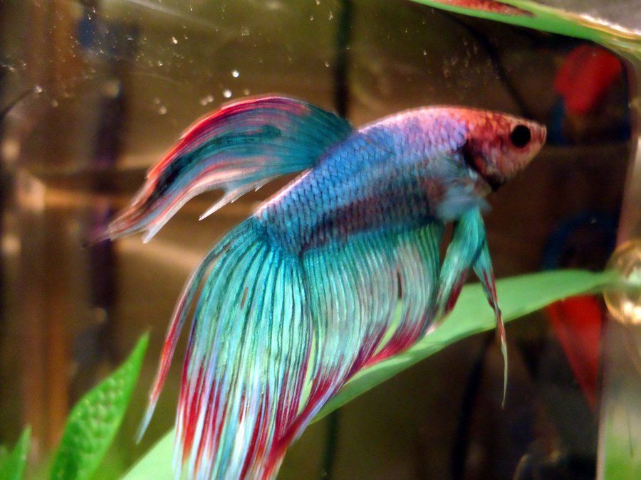 Rainbow betta fish google search betta fish for Rainbow fish pictures
