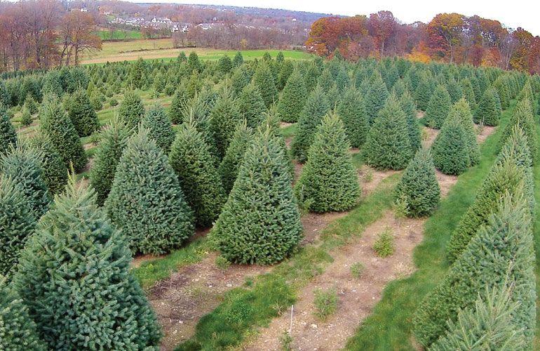 Christmas Tree Farm In 2020 Christmas Tree Farm Tree Farms Cool Christmas Trees