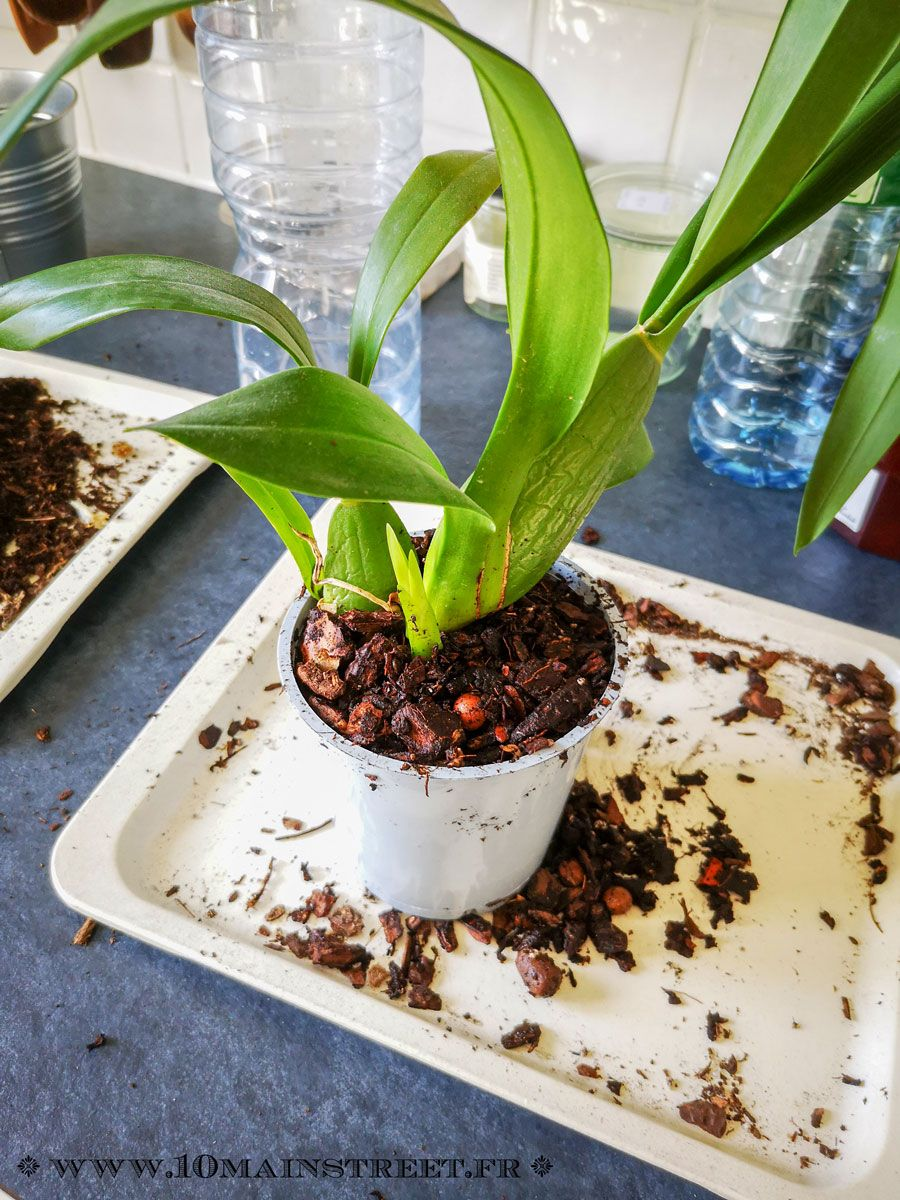 Comment Planter Une Orchidée rempoter une orchidée   rempoter orchidée, orchidée et faire