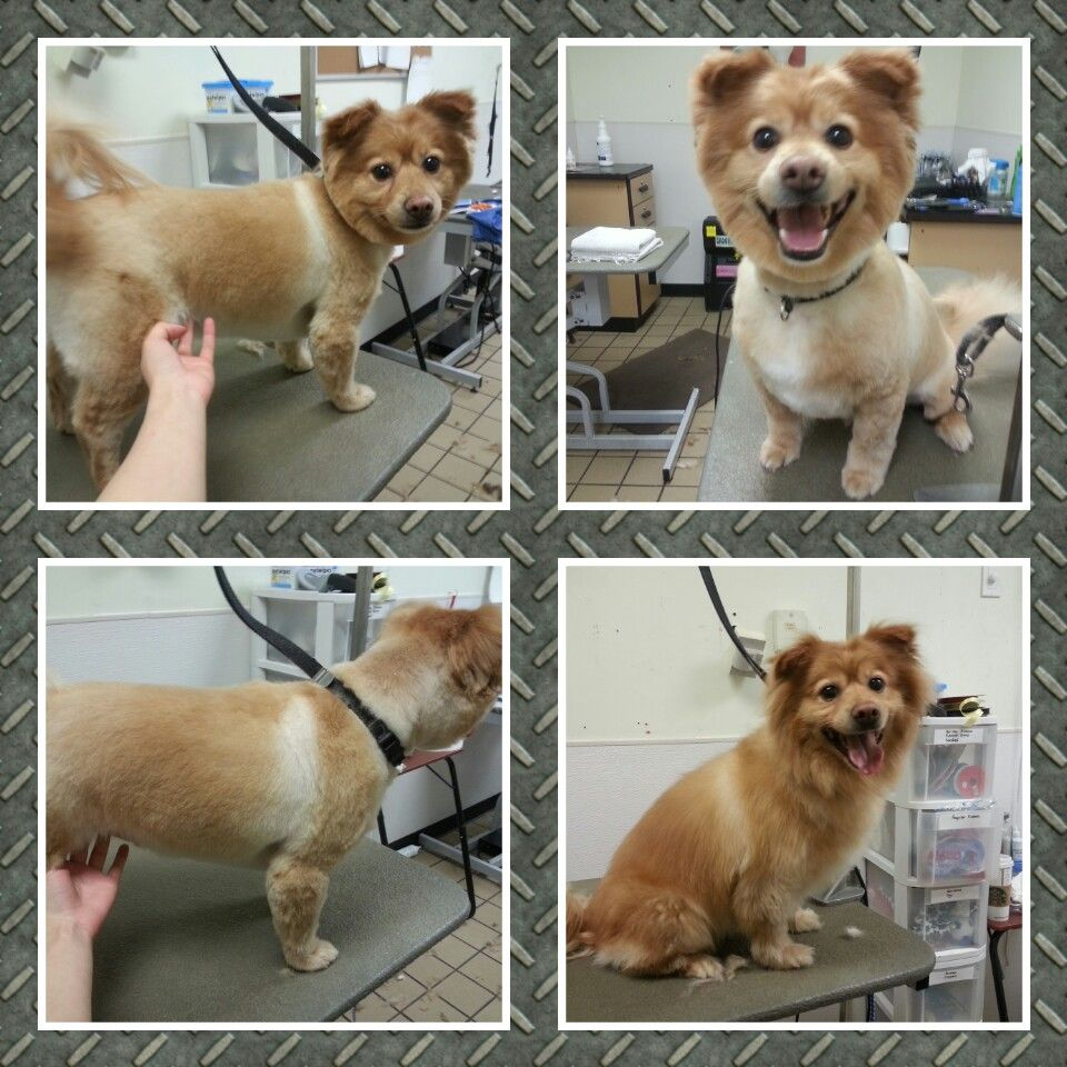 Lion cut #Pomcut #lioncut #lion #pompom #happydog #mixbreed #smalldog