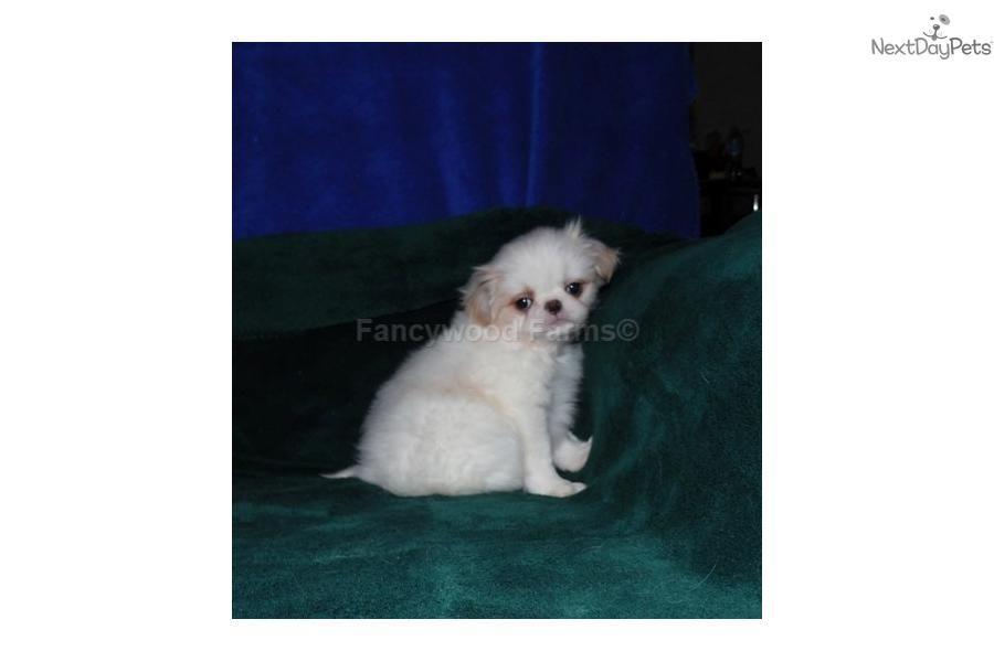 Japanese Chin Puppy For Sale Near Fayetteville Arkansas