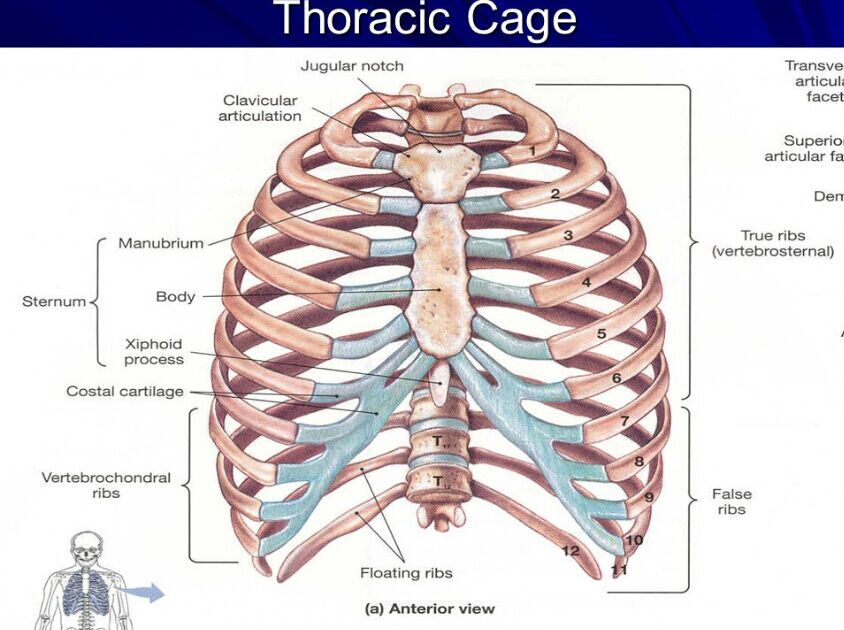 Anatomy Xiphoid Process - Human Anatomy