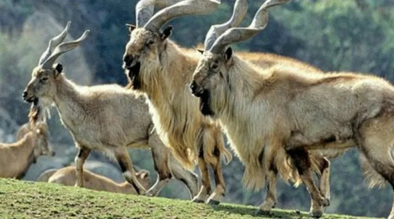 A Large Herd of Chiltan Markhors at Hazarganji Chiltan