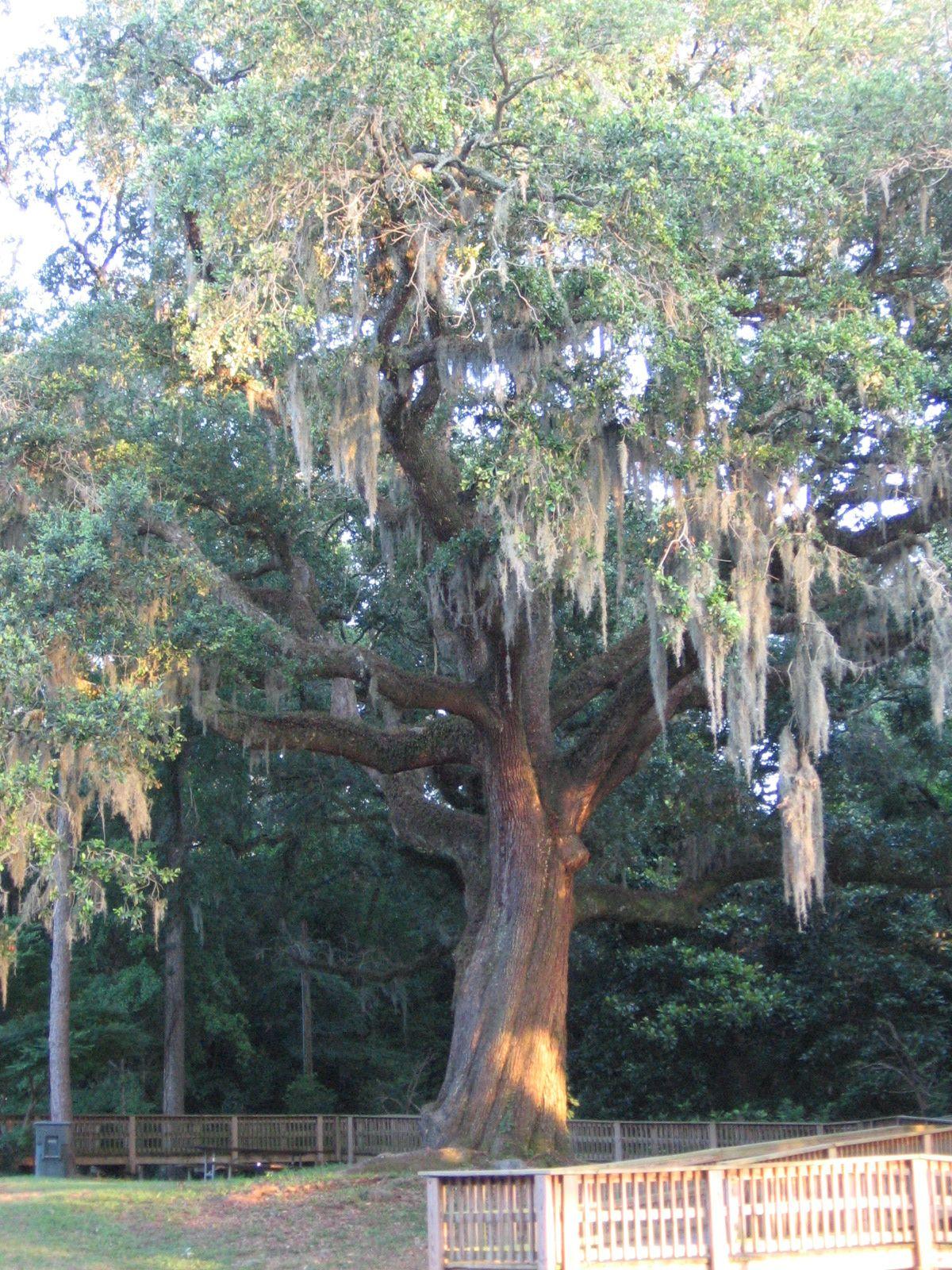 Beautiful 100 yr Old Oak Tree in Alabama