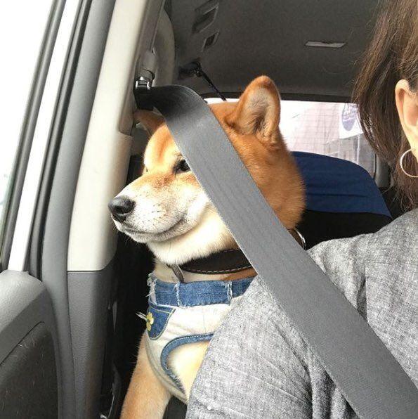 Animal おしゃれまとめの人気アイデア Pinterest Ayazon 柴犬 可愛い おもしろワンちゃん 犬 画像