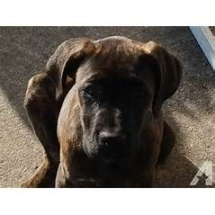 Cane Corso Bordeaux Puppies Sale For Sale In Jacksonville Florida Cane Corso Cane Corso Puppies Puppies