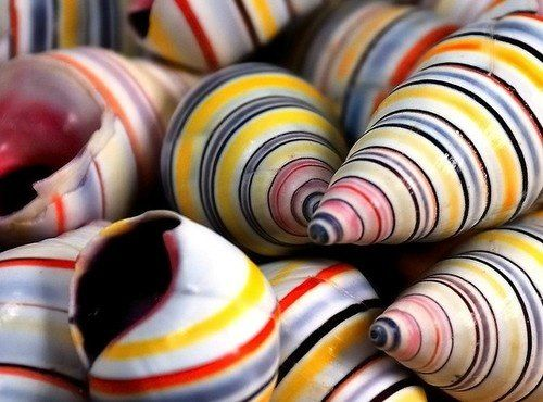 Perhaps middle-age is, or should be, a period of shedding shells; the shell of ambition, the shell of material accumulations and possessions, the shell of the ego. ~ Anne Morrow Lindbergh...  Liguus virgineus or the candy cane shells..via 11 eleven