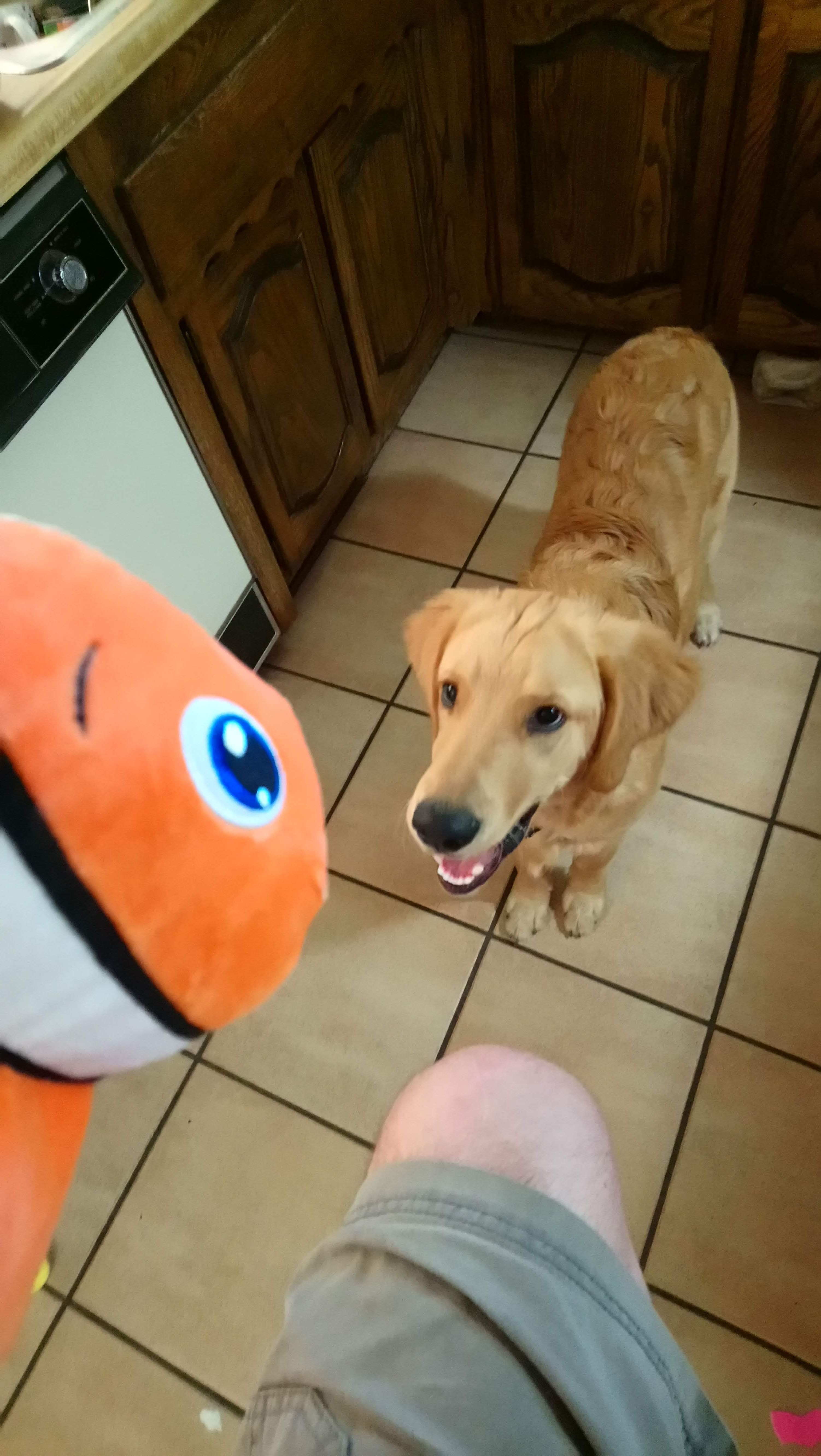 Toys and me images  Daddy got me a new toy Ium on Insta goldenboynelson dog doggie
