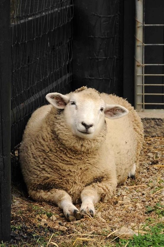 That's just how they look at you.  Don't believe anyone who says sheep are dumb, or chickens either.