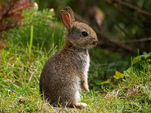 Baby Rabbit..there is always a sweet bunny in our yard twice a week. Makes  me smile! | Wild rabbit, Wild bunny, Animals