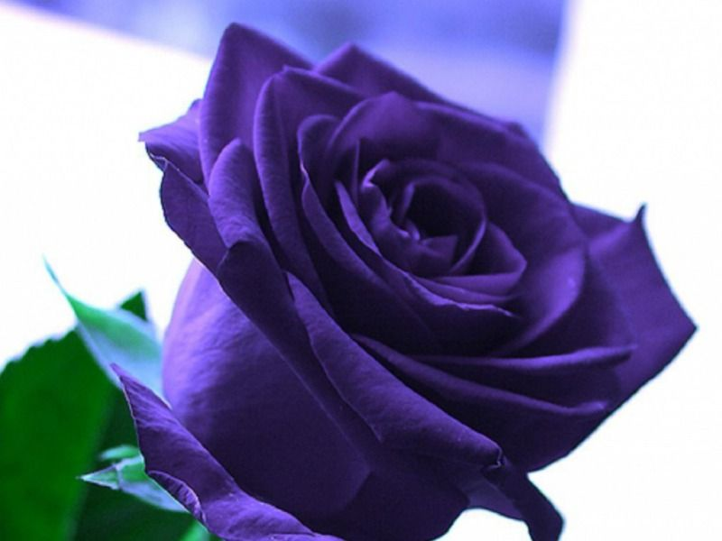 purple roses purple rose hd wallpaper lavendar pinterest