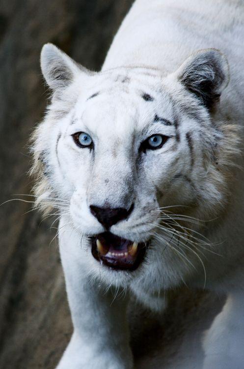 My all time fav animal!! ..white tiger