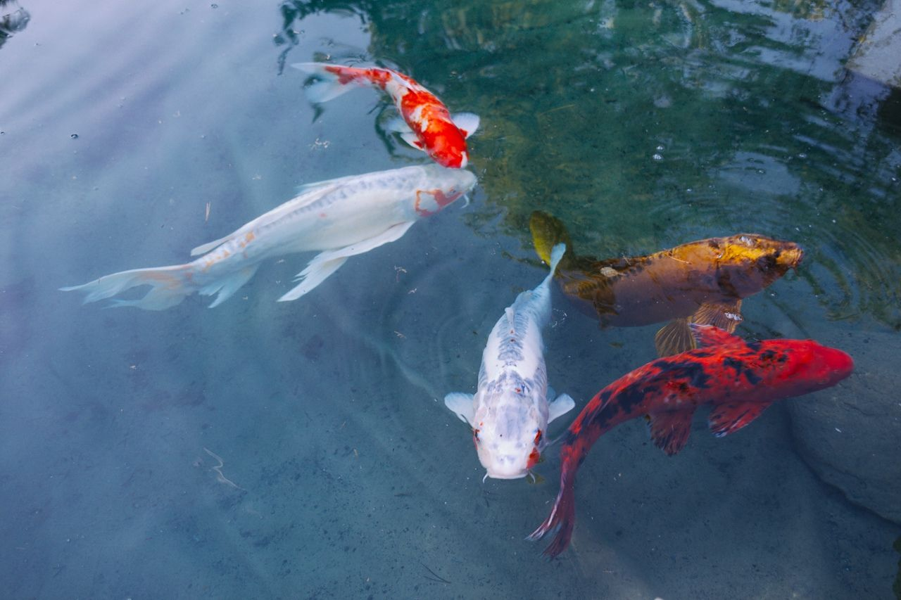 Image gallery japanese fish tumblr for Japanese koi carp fish