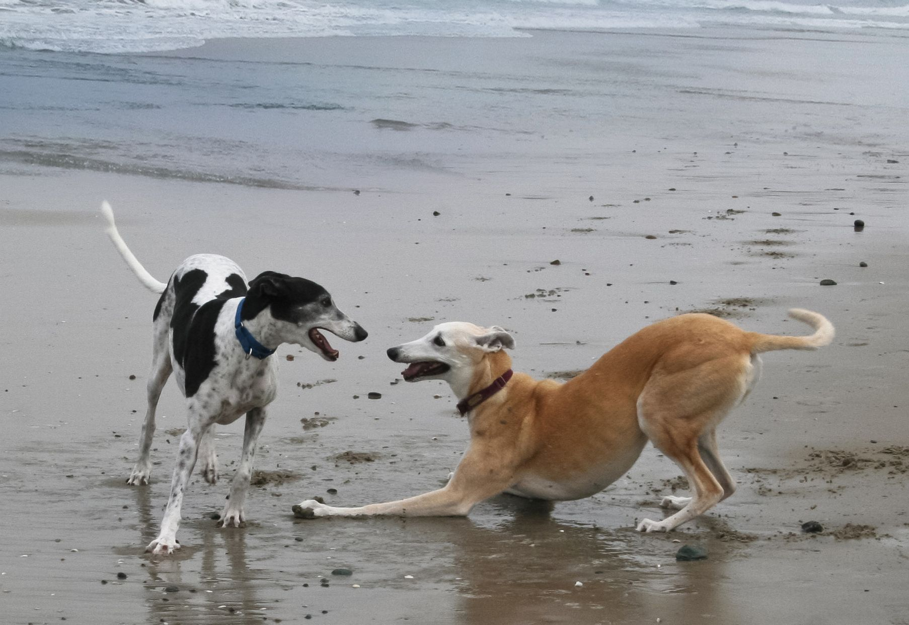 greyhound   Skechers, the Super Bowl and Greyhounds