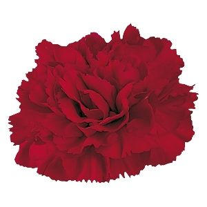 Burgundy Carnation Flowers Fiftyflowers Com Burgundy Wedding Flowers Carnations Carnation Flower