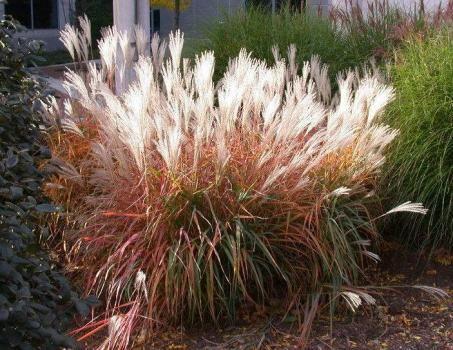 Miscanthus Purpurascens Flame Grass Grass Beautiful Gardens Garden Borders