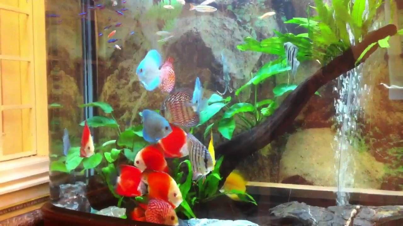 Aquarios De Discus Pesquisa Google Discus Aquarium Discus Fish Aquarium