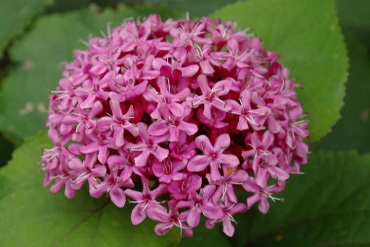 Clerodendrum bungei (Rose Glory Bower, Cashmere Bouquet, Mexicali ...
