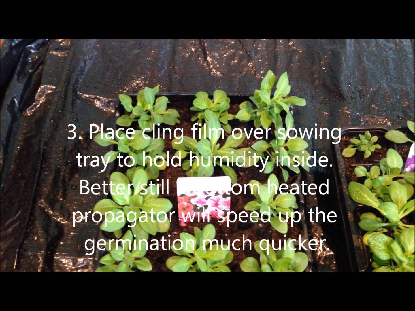Growing Petunia From Seed Help Care And Instructions Growing