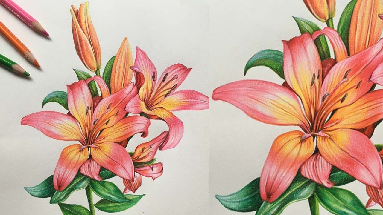 Lily Flower Drawing With Colour