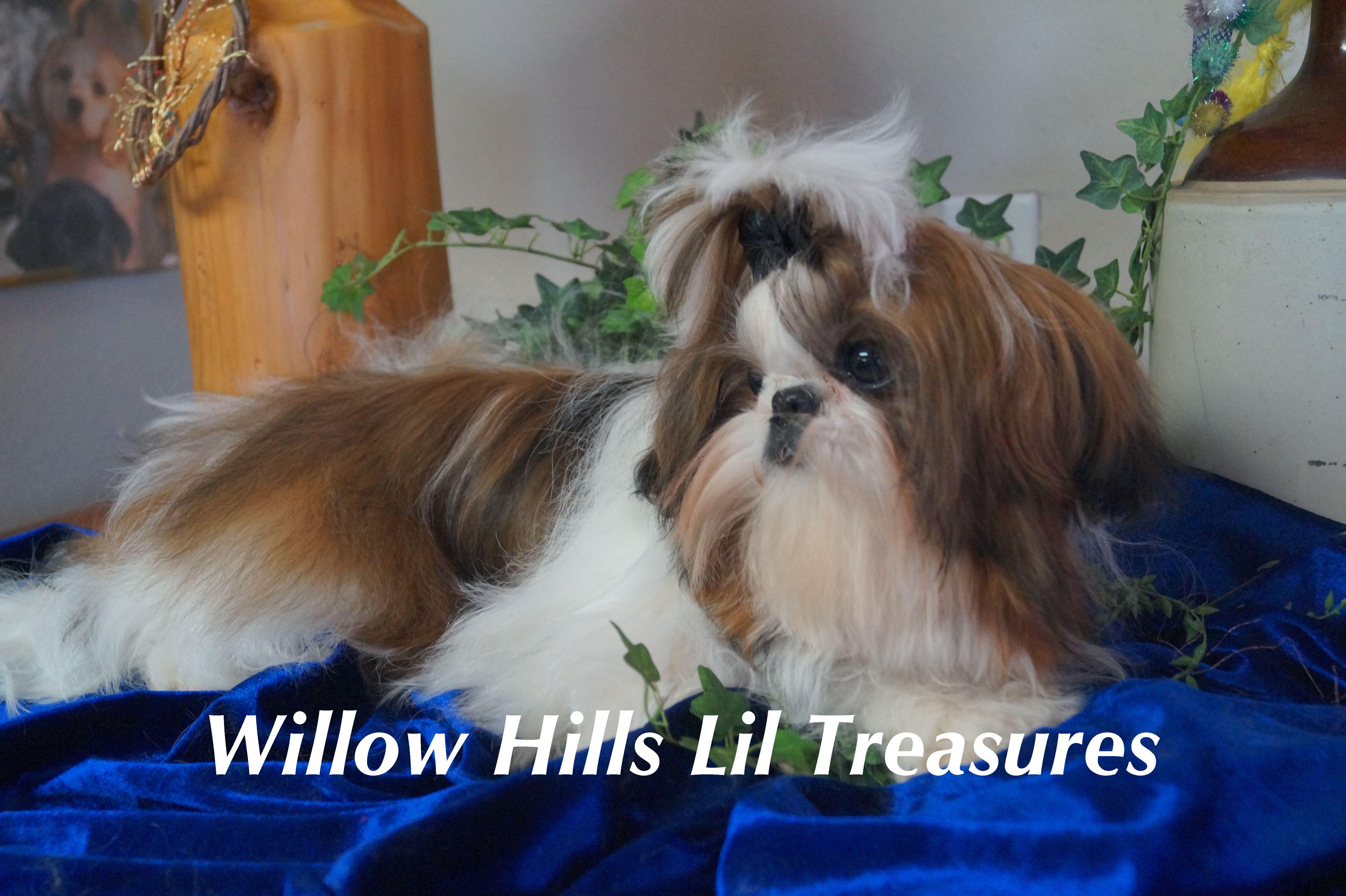 Shih Tzu Puppy Shih tzu puppy, Willow hill, Imperial
