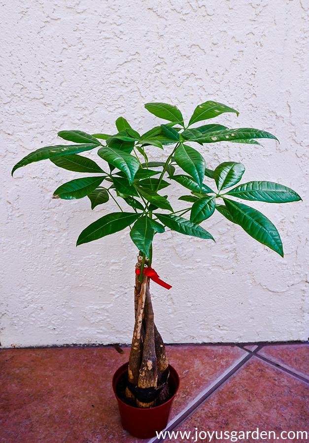 How To Repot A Money Tree (Pachira Aquatica) Plus The Mix ...