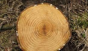 Risultati immagini per alberi dal legno pregiato