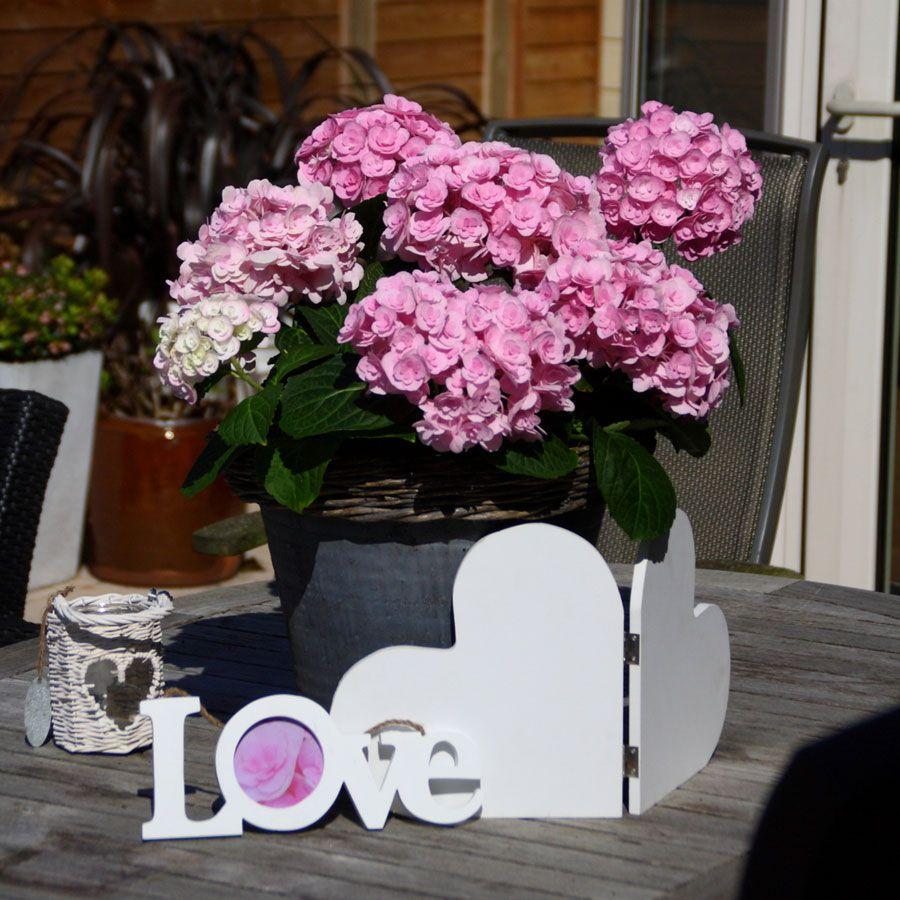 Hydrangea love hydrangea hydrangeas for sale