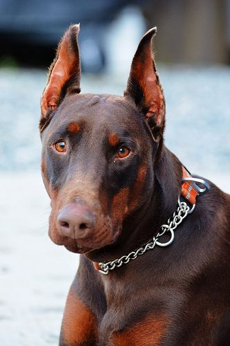 Image Doberman Pinscher Doberman European Doberman