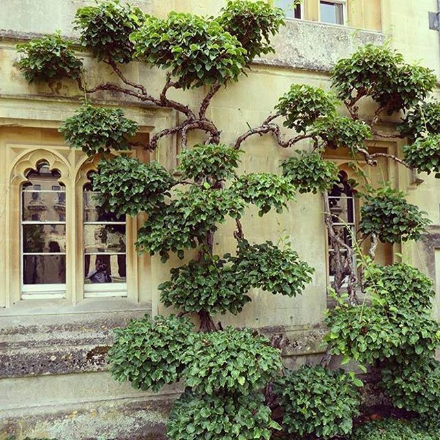 CLOUD PRUNING. Hydrangea Petiolaris (looks like) Oxford University.  Beautifully trained clouds of foliage with bare branches is characteristic of this style of pruning. I have never seen this done to a climbing hydrangea and I rather like it! This is a repost from @britishgardencompanyltd #onetofollow for lovely English garden images. #hydrangeapetiolaris #hydrangea #cloudpruning #climber #gardeninspiration #gardensofinstagram #pruning #oxforduniversity
