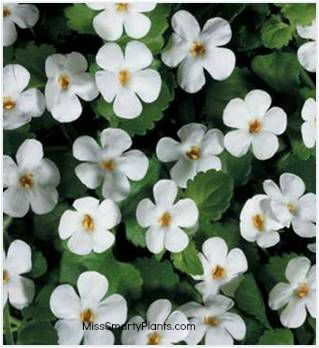 Bacopa small white or purple flowers trailing habit good for bacopa small white or purple flowers trailing habit good for hanging baskets or pots can handle light frosts plant in october and will last until june mightylinksfo