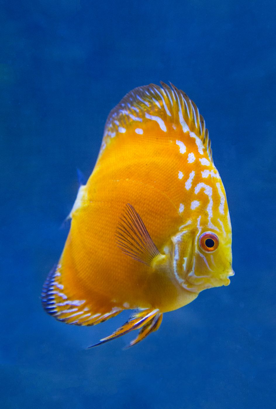 Blue And Gold Golden Checkerboard Pigeon Discus Discus Fish Discus Aquarium Fresh Water Fish Tank