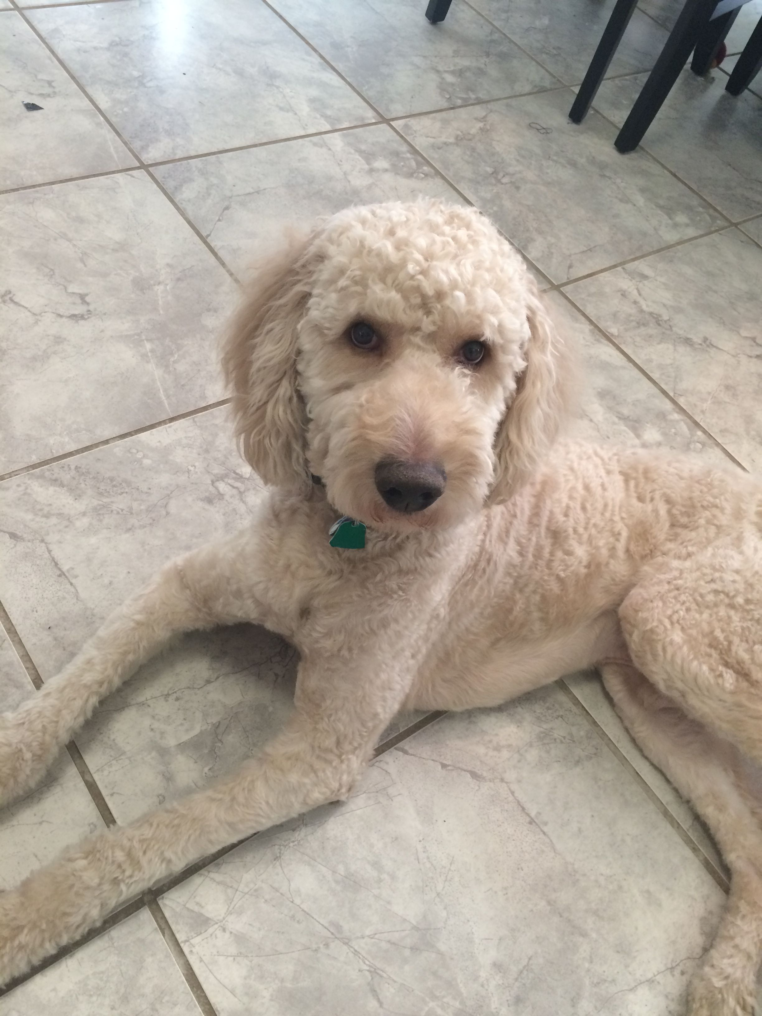 semi short haircut on a goldendoodle goldendoodles pin on doodle