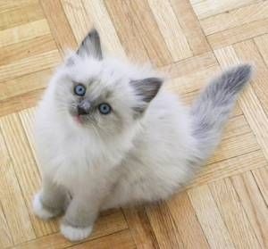 Ragdoll kitten, Looks like a baby Max and Maggie! AWE