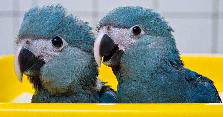 am besten authentisch hochwertiges Design 60% günstig Spix's Macaw Babies ❤️ #parrots #babybirds | Birbs ...