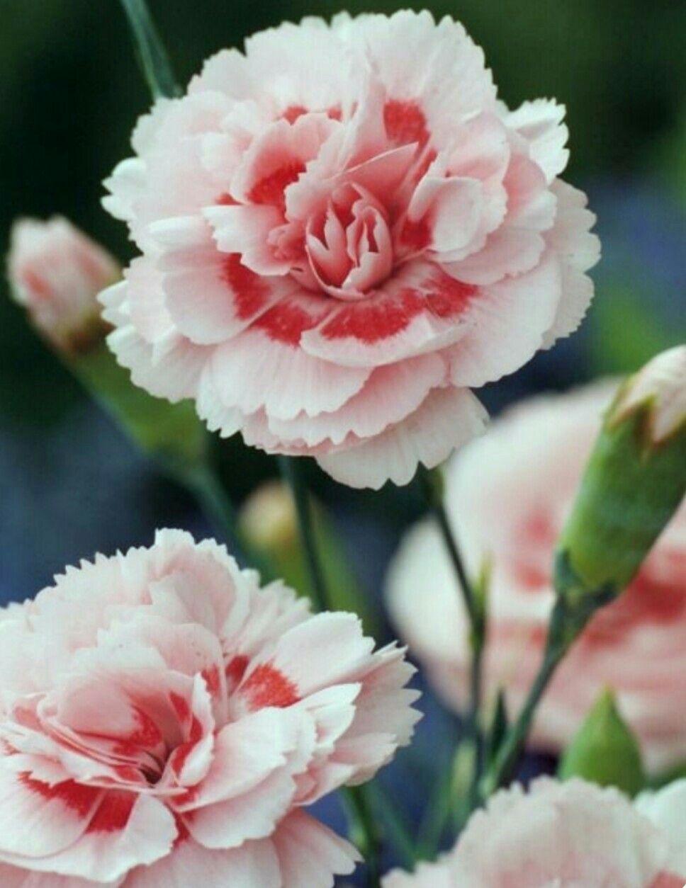 Pin By Amanda Bailey On Gardening Carnation Flower Beautiful Flowers Flowers
