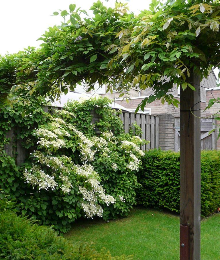 Pergola met blauwe regen en klimhortensia tegen schutting lente balkon tijd pinterest - Pergola klimplant ...
