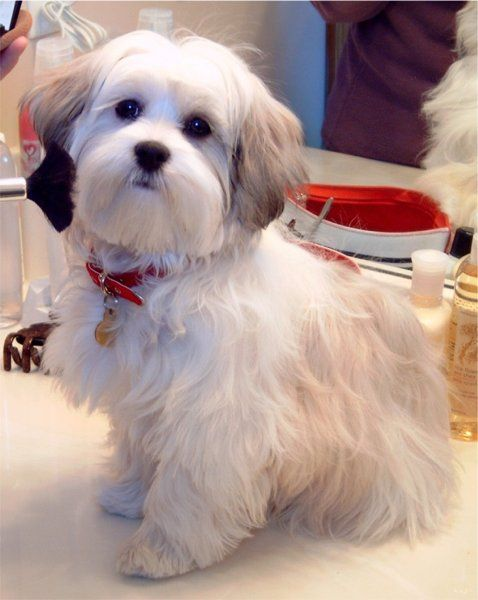 Mal Shi Adult Dog Maltese puppies | Maltese Puppies ...
